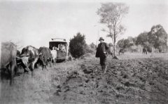 CD-10_AVard_George_pulling_tramcar_to_Sunnyside_with_his_bullock_team_1919.jpg